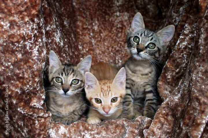 Lots of adorable cats and kittens are available at the HRR shelter. To meet them in person, contact Hawaii Rainbow Range...
