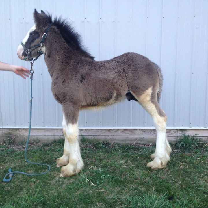 Offering for sale this stud c**t will make a gelding prospect.  He has a long tail for those interested.  Would be suita...