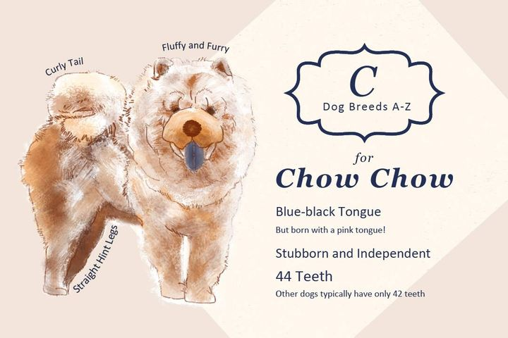 { Dog Breeds A-Z } C for Chow Chow ! Let's get to work with  Chow Chow's  adorable smile~ 😚