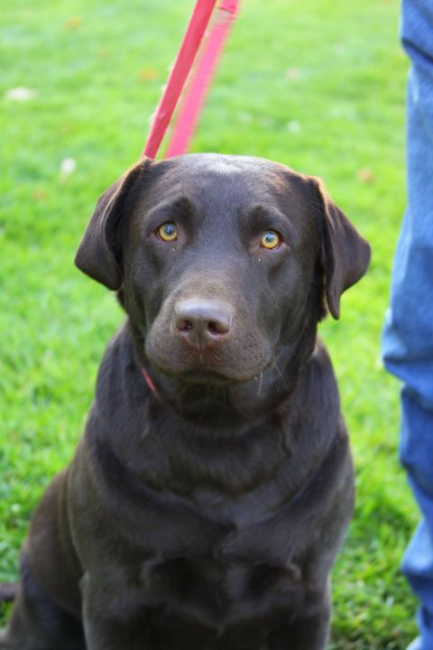 MERRIMAN LABRADORS BREEDING KENNELS IS CLOSING.  I HAVE BEEN IN THIS BUSINESS FOR 10 YEARS HAVE HAD 13 LITTERS AND 96 PU...