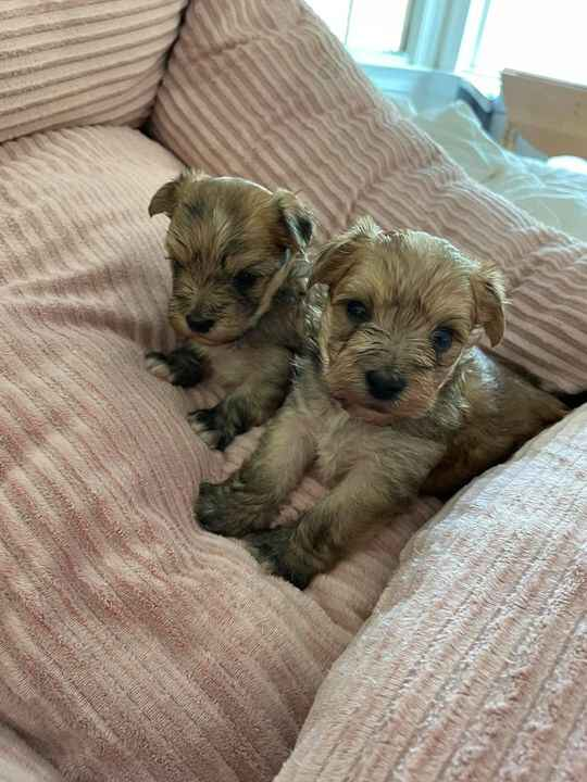 These two adorable little MORKIE pups, born March 16th, will be ready to go home next week.  They have personality plus,...