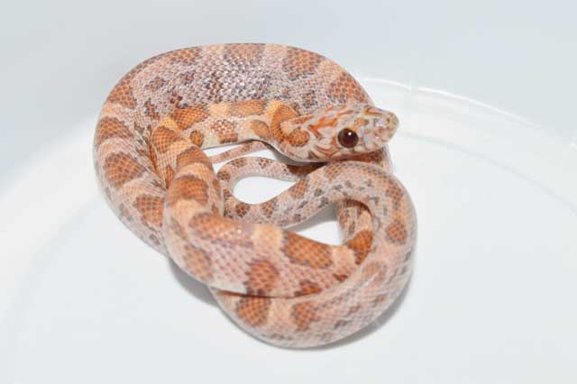 Baby Orchid Corns are just amazing snakes, anyway you look at them! But so are the adults....