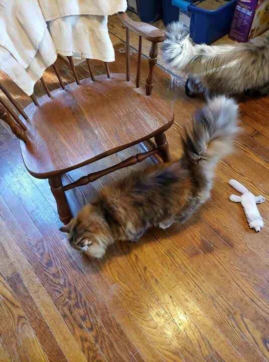 This is Mishka, 3 year old. She and her sister came back to us since her owner had serious health issues. She is a big g...